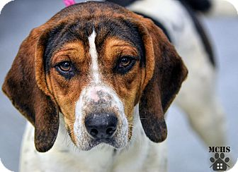 Treeing Walker Coonhound Mix Dog for adoption in Martinsville, Indiana - Elvis Houndly