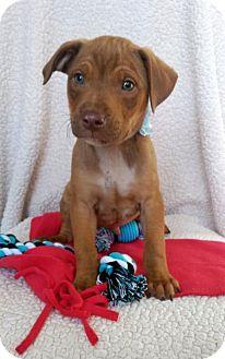 Boxer/Labrador Retriever Mix Puppy for adoption in Elkton, Maryland - Melvin
