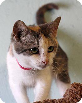 Calico Kitten for adoption in Mayflower, Arkansas - Emery