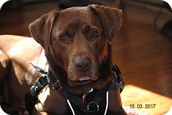 Labrador Retriever/Retriever (Unknown Type) Mix Dog for adoption in Bedford Hills, New York - Hunter
