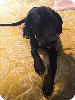 Labrador Retriever/Hound (Unknown Type) Mix Puppy for adoption in Nanuet, New York - Gabe