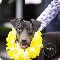 Adopt A Pet :: Nani Lani - Redmond, WA