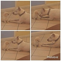 English Pointer Mix Dog for adoption in Phoenix, Arizona - Sugar