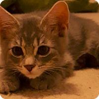 Adopt A Pet :: Maestro - Tucson, AZ