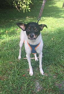 Terrier (Unknown Type, Small) Mix Dog for adoption in Boca Raton, Florida - Junior