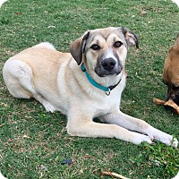 Adopt A Pet :: Evie - Tulsa, OK