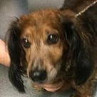 Adopt A Pet :: Lady Doxi