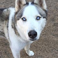 Adopt A Pet :: Miikka - Cedar Crest, NM