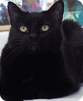 Domestic Shorthair Cat for adoption in Grants Pass, Oregon - Hailey