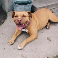 Adopt A Pet :: Alice - Fresno, CA