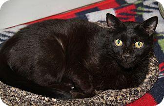 Domestic Shorthair Cat for adoption in Marietta, Ohio - Onyx (Neutered)