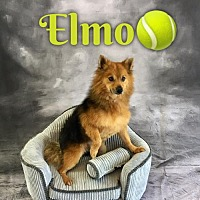 Adopt A Pet :: Elmo - Dallas, TX