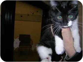 Domestic Mediumhair Kitten for adoption in Walker, Michigan - Dot