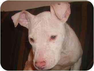 Bull Terrier Mix Puppy for adoption in little rock, Arkansas - June-adorable pup