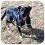Photo 4 - Shepherd (Unknown Type)/Australian Cattle Dog Mix Puppy for adoption in Broomfield, Colorado - Poppy