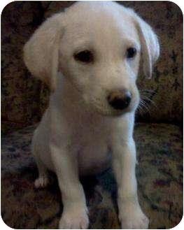 Labrador Retriever Mix Puppy for adoption in Callahan, Florida - Martini