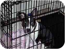 Jack Russell Terrier/Rat Terrier Mix Puppy for adoption in Smyrna, Tennessee - Tizzy