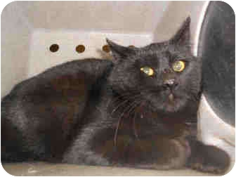 Domestic Shorthair Cat for adoption in Yuba City, California - Unknown Sex/Age