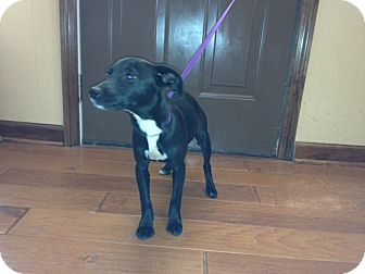 Feist Mix Puppy for adoption in Bedminster, New Jersey - Ebony