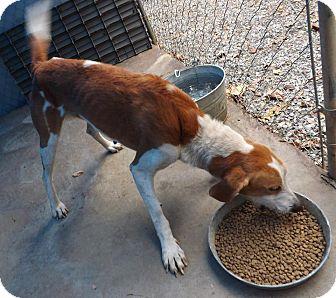 Hound (Unknown Type) Mix Dog for adoption in Henderson, North Carolina - JETHRO