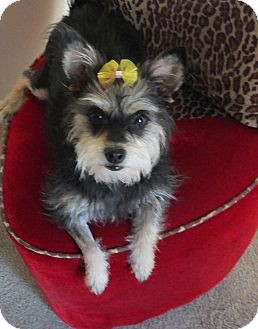 Terrier (Unknown Type, Small) Mix Dog for adoption in Goodyear, Arizona - Coco