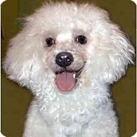 Adopt A Pet :: TIki - New York, NY