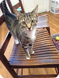 Domestic Shorthair Cat for adoption in Homewood, Alabama - Whoopsy Daisy