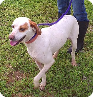 Pointer/English Setter Mix Dog for adoption in Metamora, Indiana - Rosalee