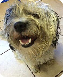 Havanese Mix Dog for adoption in Encino, California - Niles