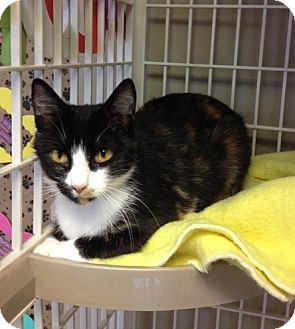 Calico Cat for adoption in Byron Center, Michigan - ZeZe