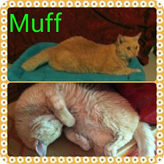 Domestic Mediumhair Cat for adoption in Newnan, Georgia - Muff