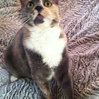 Calico Cat for adoption in Woodland Hills, California - Emmy