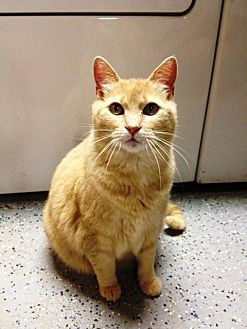 Domestic Shorthair Cat for adoption in San Jose, California - Fantasia