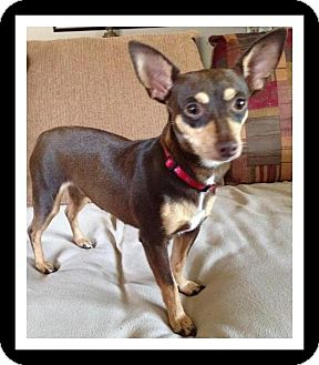 Chihuahua/Miniature Pinscher Mix Dog for adoption in Winchester, California - GAYLE