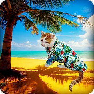 Domestic Shorthair Cat for adoption in Philadelphia, Pennsylvania - Marmaduke