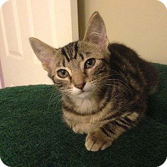 Domestic Shorthair Kitten for adoption in Homewood, Alabama - Kelly