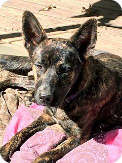 Dutch Shepherd Mix Dog for adoption in Brattleboro, Vermont - ANA