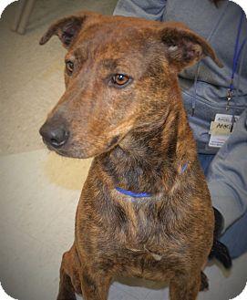 Plott Hound Mix Dog for adoption in Wilmington, North Carolina - Bunny