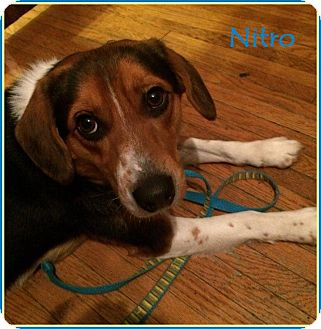 Beagle Dog for adoption in Lincoln, Nebraska - NITRO