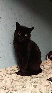 Domestic Shorthair Cat for adoption in Brainardsville, New York - Munchkin