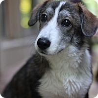 Adopt A Pet :: Boomer - Fredericksburg, VA