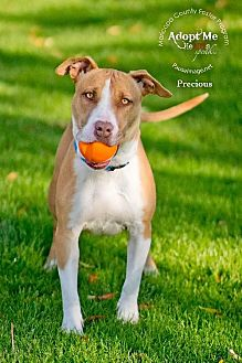 Hound (Unknown Type)/Bull Terrier Mix Dog for adoption in Chandler, Arizona - PRECIOUS 3
