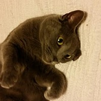 Adopt A Pet :: Yowley Girl *Courtesy Listing* - Greensboro, NC