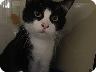 Domestic Shorthair Cat for adoption in New Castle, Pennsylvania - Winn