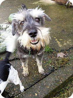 Schnauzer (Standard) Dog for adoption in Salem, Oregon - Willie nelson