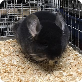 Chinchilla for adoption in Hammond, Indiana - 4 mo black velvet chinchilla
