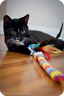American Shorthair Kitten for adoption in Los Angeles, California - Wasabi