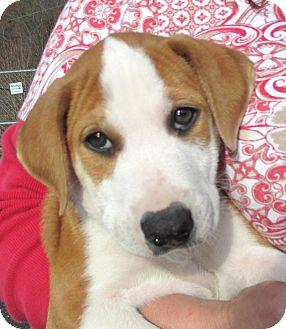 St. Bernard/Terrier (Unknown Type, Medium) Mix Puppy for adoption in Reeds Spring, Missouri - Jay