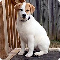 Adopt A Pet :: *Pokey - PENDING - Westport, CT