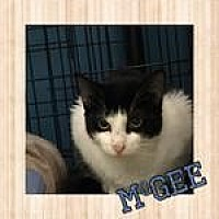 Domestic Shorthair Kitten for adoption in Westbury, New York - McGee